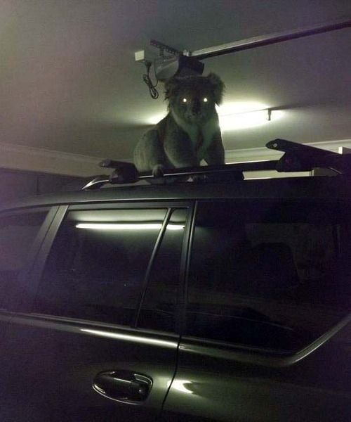 Nightmare koalas waiting for you in your garage, presumably to consume you. | 26 Everyday Occurrences In Australia
