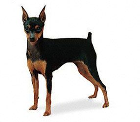 Mini pinscher white hair