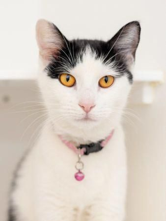 Jan is an adoptable domestic short hair searching for a