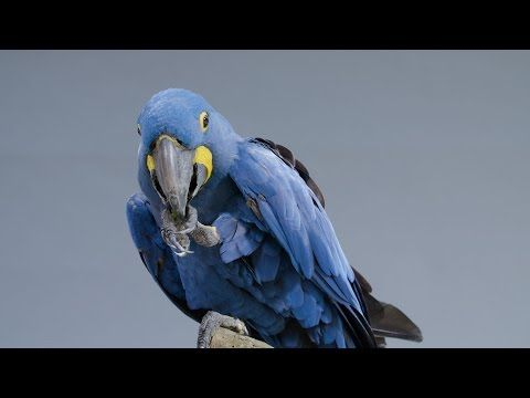 Great Big Story, the world's biggest and bluest hyacinth macaw is in trouble