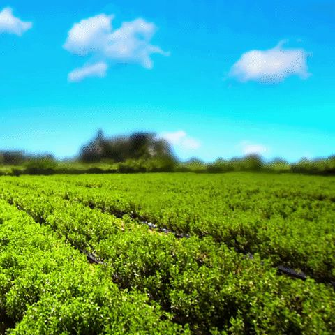Dalle piantagioni di stevia nasce Misura Stevia: origine naturale, zero calorie.