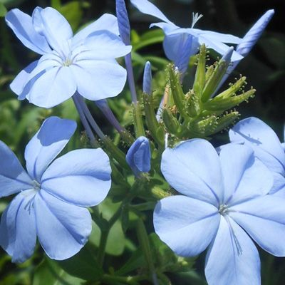 A South African native, plants are hardy in USDA zones 8-11.  Plants typically grow to about 3- to 4-feet tall and can reach 5-feet wide. Plumbago can get a bit leggy if left untended so it's a good idea to prune spent flowers and tip-prune to encourage a dense growth habit.