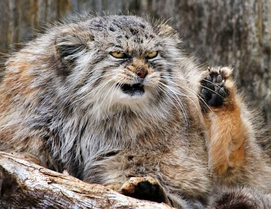 Grumpy Cat, you have competition!    A fierce-looking Pallas's cat has become a favorite at the Zurich Zoo.