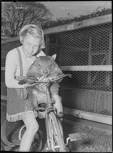 A WOMBAT ! one of my favorite aminals : Cary Bay Zoo, Lake Macquarie, NSW, 1954 / Sam Hood