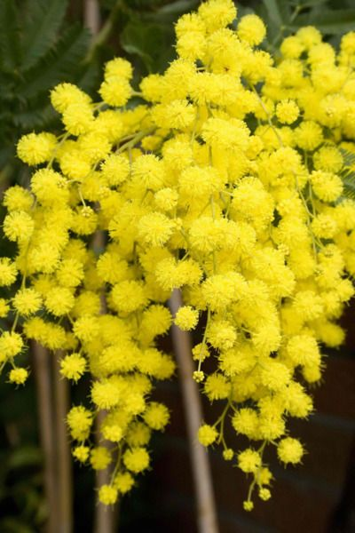 Wattle Australia National Flower ♥ it is so pretty - like lemon baby's breath