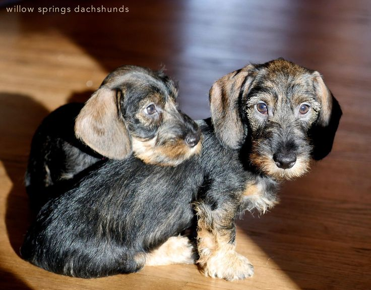 Willow Springs Dachshunds, breeder of miniature wirehaired dachshunds #Dachshund