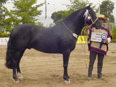 (2) Caballo Chileno Chilean Stallion/ horse