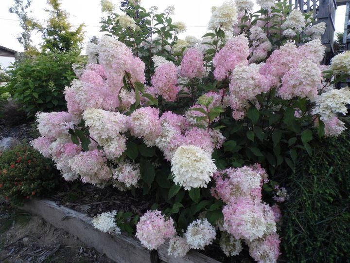 Hortensja Bukietowa Phantom Sadzonka 2l 7879882206 Oficjalne Archiwum Allegro Hydrangea Paniculata Hydrangea Plants