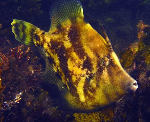 Fanbelly Leatherjacket  - Monacanthus chinensis - ommonly seen by divers in rocky and weedy areas,