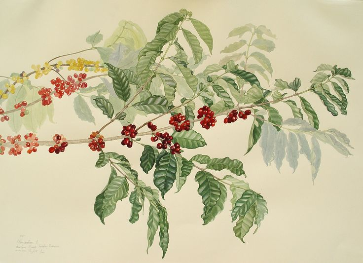 Margherita Leoni, Coffea arabica, watercolor en plein air, cm 56,6 x 76, www.salamongallery.com  | #realism #watercolor #coffea #arabica #nature #botany #figurative #contemporary #art