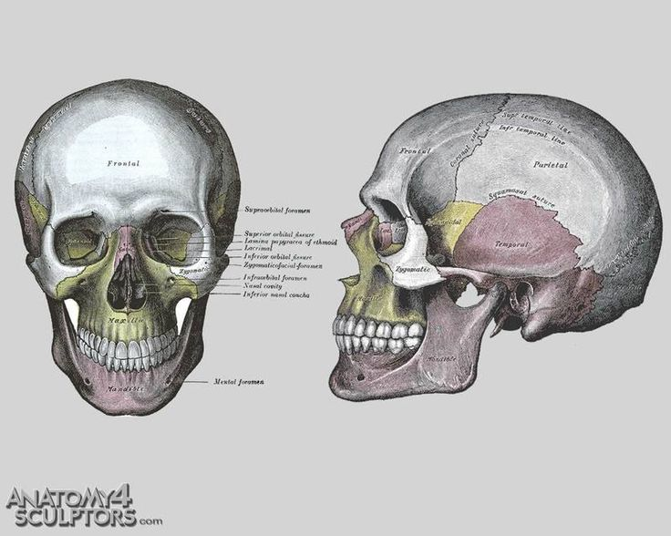 18 best Head and neck images on Pinterest | Anatomy reference ...