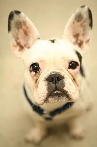 'Ferbb', the French Bulldog Puppy, what a beauty❤️