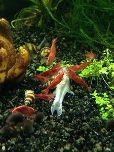 Aquarium garnalen zoals de Vuurgarnalen zijn nuttige werkers in het aquarium. Ze maken het aquarium schoon door vuil op te eten.