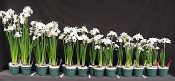 Adding gin to the water for paperwhites keeps the stems from becoming so long the blooms fall over. Article from Cornell University's Agriculture Dept. Picture: From leggy to compact, paperwhites from Erin's experiment.