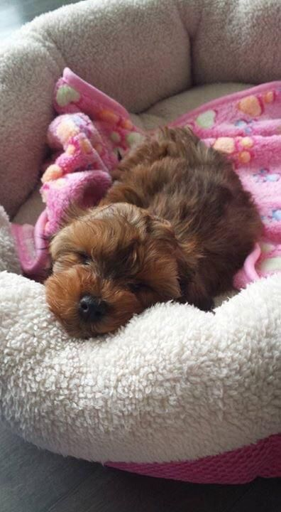 New addition. Little Marli. Yorkie/poodle mix.  http://ift.tt/2ssYWbq