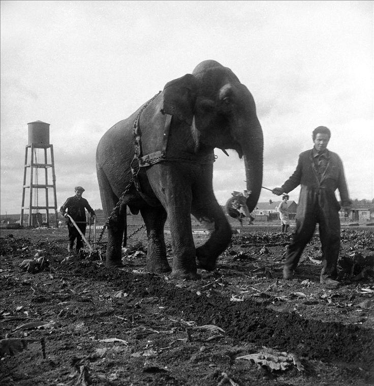 Elephant_participant_au_labourage_des_champs_près_de_Blois_1941.jpg Cliquez sur l'image pour fermer la fenêtre: