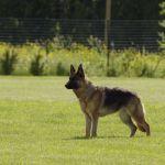 30 Lizenz freie Bilder mit Deutsche Schäferhunde  #dogs #photo #publicdomain #royaltyfree