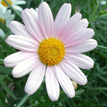 Daisy Flower Meaning