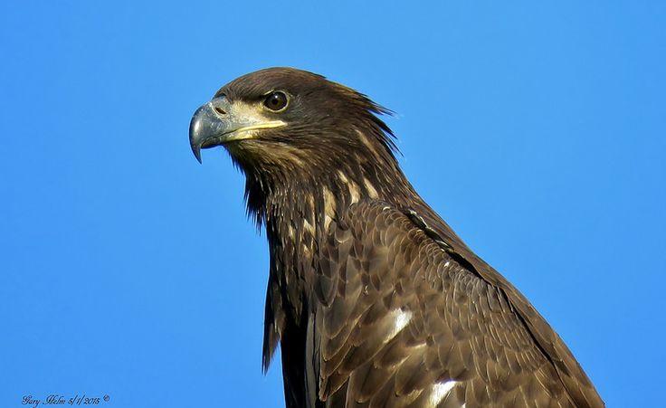 Immature Bald Eagle | Flickr - Photo Sharing!