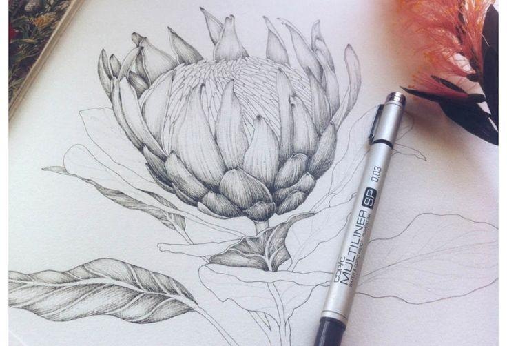 Edith Rewa botanical illustration: King Protea