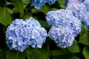 I need to transplant a medium/large well established hydrangea bush ASAP. However, I don't know if this is the safest time of year. Should I act now or wait until fall? Any other transplanting tips on this bush would be very helpful. The bush has sentimental value and losing it would be tragic.
