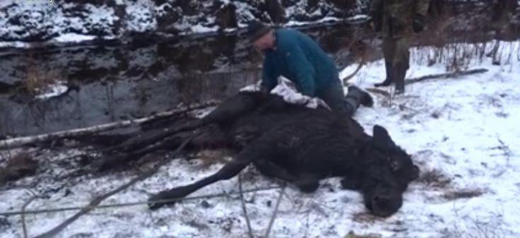 Niepokojącą informację o uwięzionym zwierzęciu otrzymał komendant Straży Leśnej Nadleśnictwa Waliły (RDLP w Białymstoku).