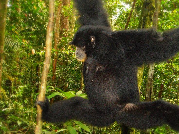 Black gibbon aka Siamang Gunung Leuser NP