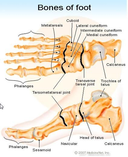 Sesamoid Bone - Health, Medicine and Anatomy Reference Pictures