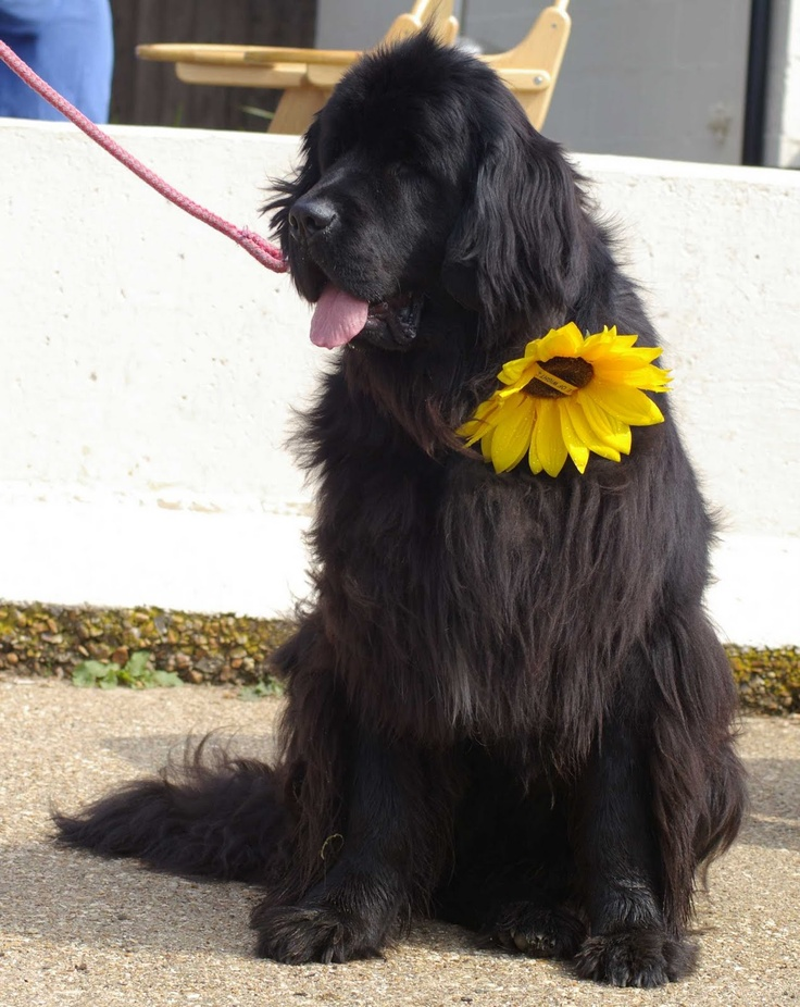 The Briar Rose Gate: Newfoundland Rescue Dogs at Folly