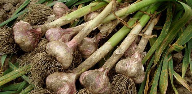 garlic stalks