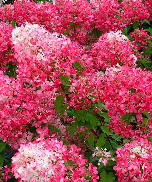 Další novinkou v podzimní nabídce pro sezónu 2015 v zásilkové službě  eshop.starkl.com je Hortenzie 'Diamond Rouge'.  Latnatá hortenzie s nejčervenějšími květy! Vybarvují se postupně od růžové po sytě purpurovou. Znovuobjevené nádobové rostliny. Kvetoucí nádhera po celé léto! Už nějakou dobu latnaté hortenzie v zahradách postupně nahrazují klasické hortenzie s kulovitými květy.