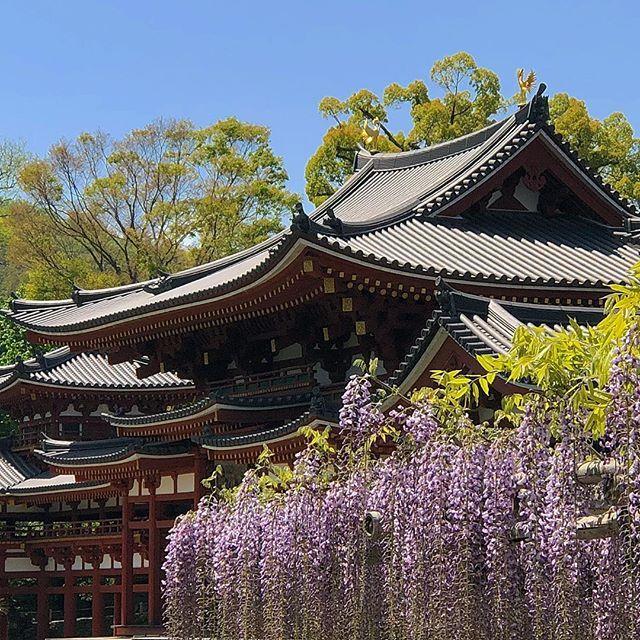 У павильона феникса храма #Бёдоин в #Удзи уже цветет #глициния. #Киото #Япония #сегодня www.midokoro.com