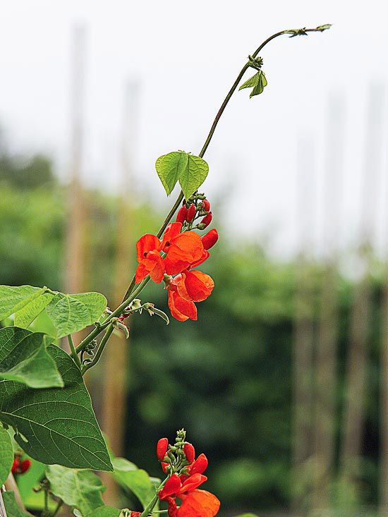 Scarlet Runner Bean (Phaseolus coccineus) is an annual vine.  A great vine to grow with children because of its quick growth and large seeds, scarlet runner bean produces red-orange flowers throughout the summer. It attracts hummingbirds and bears edible beans. It can climb 10 feet or more and grows best in full sun.  Note: Grow it on stalks of corn to make a tepee for children to hide out in