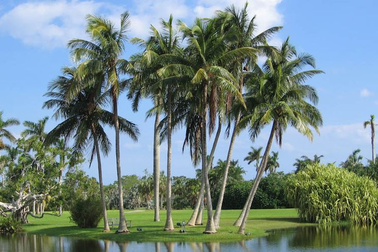 florida palm trees | group of palm trees along the shore keywords tree palm tree ...