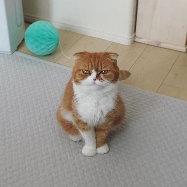 おはよございます good morning  #たま#スコ#猫#cat#cats#tama#instacat#catlover#cutecat  #にゃんすたぐらむ#ふわもこ部#neko#kawaii #ハチワレ#instagallery#beautiful#friend #catstagram#catlife#ilovemycat#茶トラ #にゃんこ#ねこ部#catsofinstagram#愛猫 #にんまり