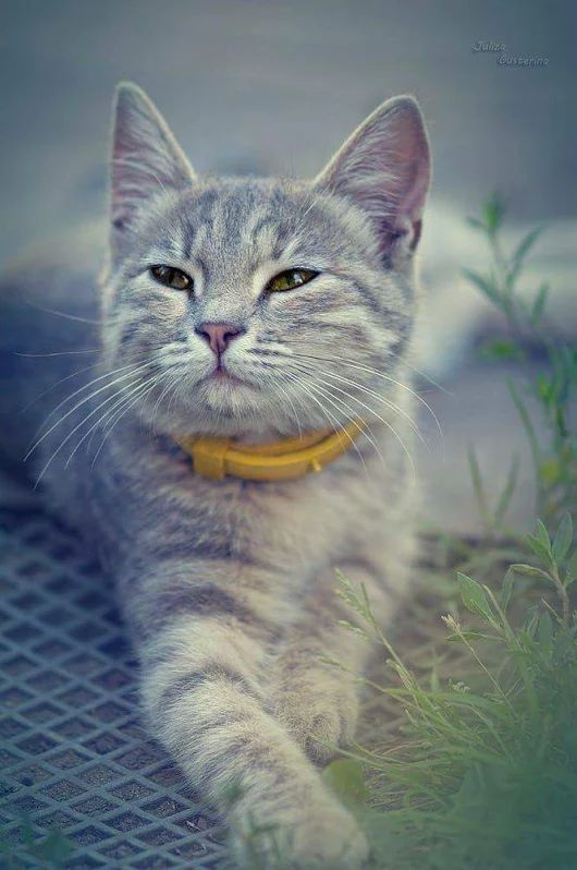 What a lovely Silver Gray muted Tabby. Her face is very relaxed as she gazes on the world around her. The simple joys of being a cat.