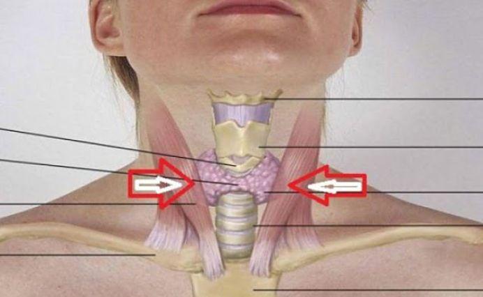 Tiroida, sau glanda tiroida, este o glanda endocrina care produce hormoni sub actiunea iodului, principalul sau rol fiind acela de a regla metabolismul corpului, iar multi dintre romani sufera din cauza acestei glande.