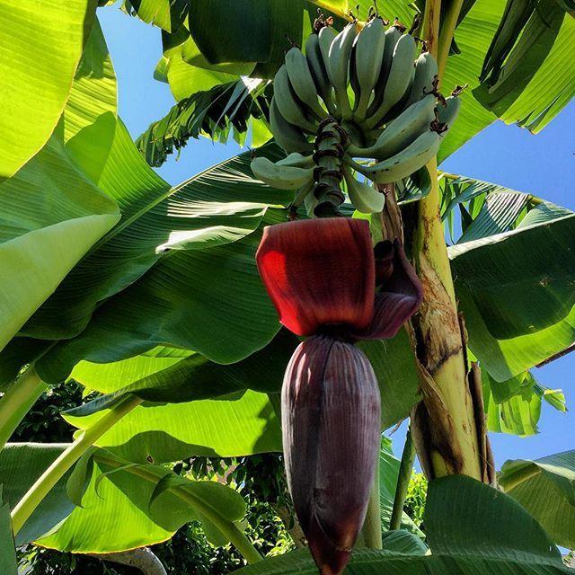 Banana tree #banana #bananatree #bananaplant #bananenstaude #nature #natureza #natura #natur #naturaleza#Rhodes #Rhodos #Rodi #Rodos #Ροδος #Родос #Rodas #griechenland #greece #grecia  #griekeland #griekenland #grekland #yunanistan #grece