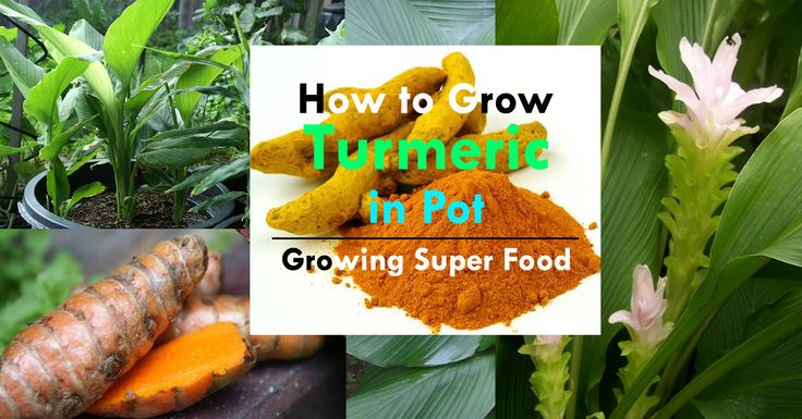 Turmeric is a superfood and has many medicinal benefits. Growing turmeric in pots is not so difficult if you follow this how-to guide.