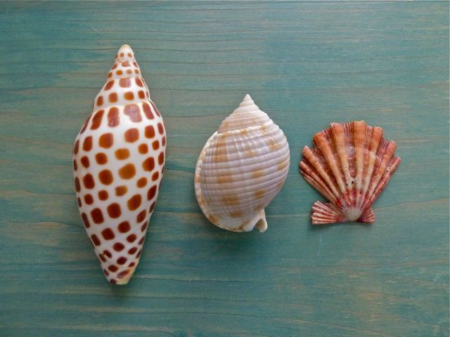 Junionia, scotch bonnet and lions paw  Three rare shells to find at Sanibel island