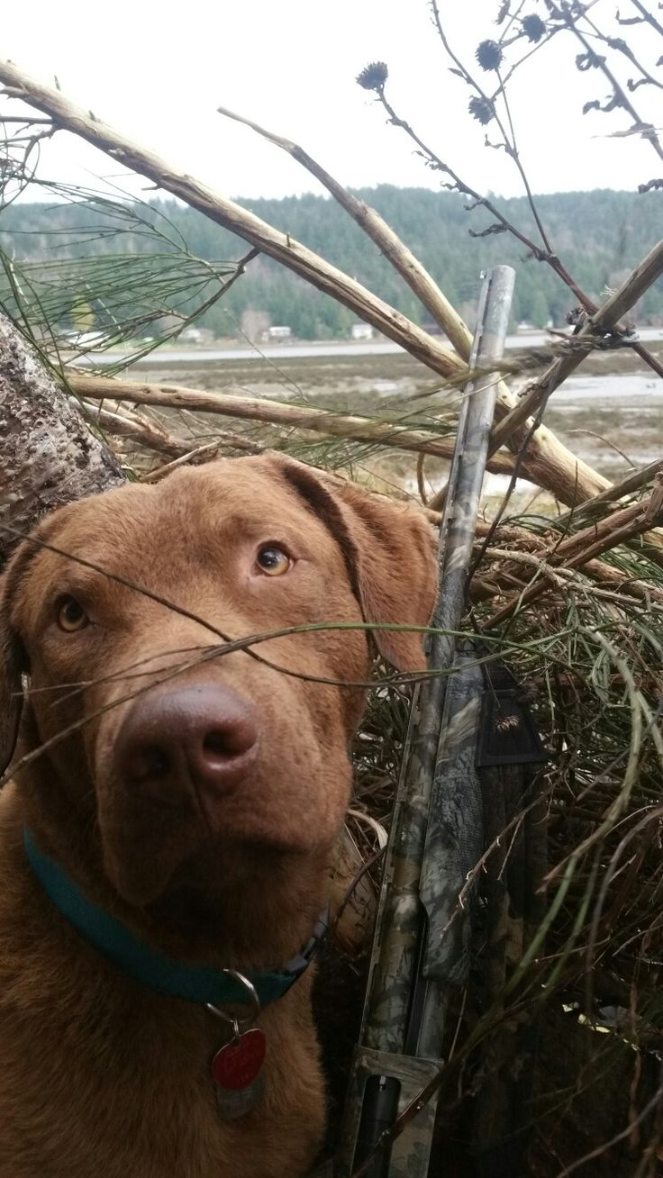 buddy the chessie in the blind