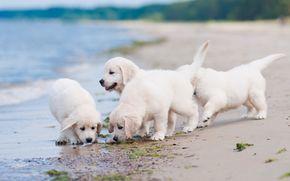 Животные: собаки, щенки, квартет, пляж