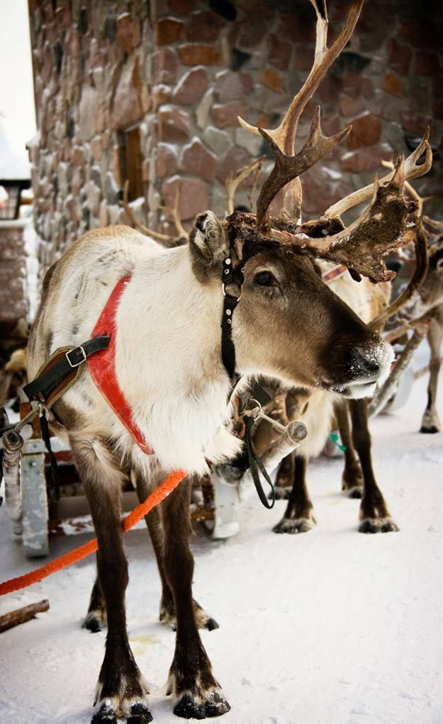 Christmas Reindeer: Everything You Need To Know About The History of Santa's Reindeer | Fun Facts About Holiday by Pioneer Settler at http://pioneersettler.com/santas-reindeer-everything-need-know-history-christmas-reindeer/
