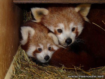 naissance d 39 un b b panda roux au safari de peaugres zoo pinterest. Black Bedroom Furniture Sets. Home Design Ideas