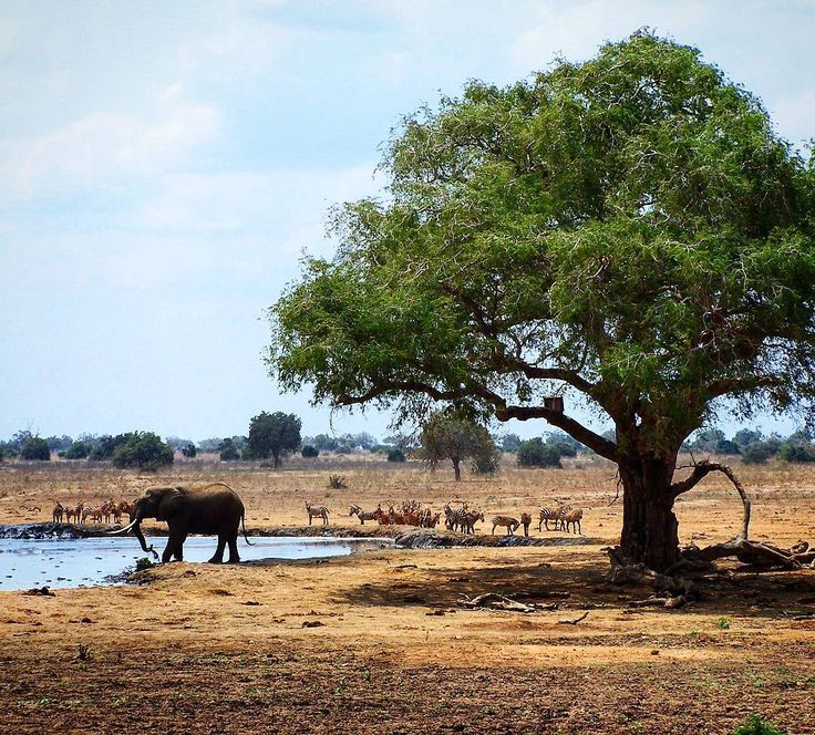 Every day the elephants return to the watering hole in front of my tent  in Satao Camp Tsavo East National Park Kenya.