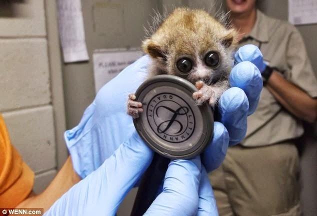 17 Best images about Slow Loris Love on Pinterest | Pets ...