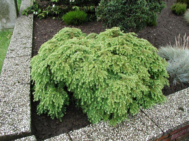 Tsuga canadensis Jeddeloh - Barrväxter - Vintergröna buskar - Växter