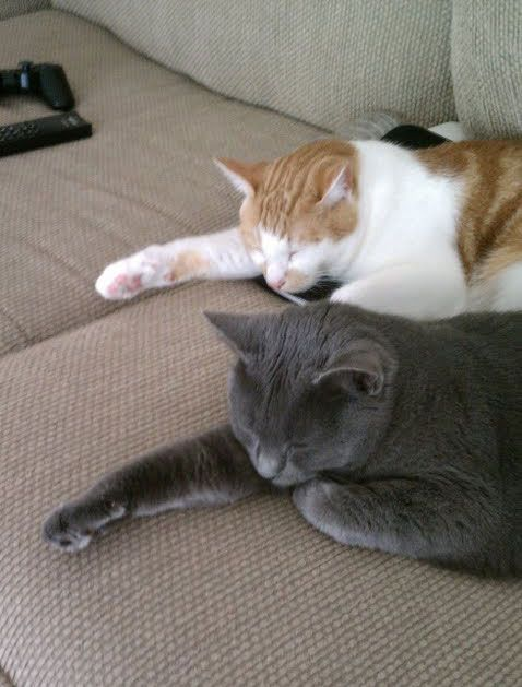 """funny-2-cats-napping (=^.^=) Thanks, Pinterest Pinners, for stopping by, viewing, re-pinning, & following my boards.  Have a beautiful day! ❁❁❁ and """"Feel free to share on Pinterest""""✮✮"""" #catsandme #cats"""
