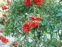 Risultati immagini per piante con bacche rosse