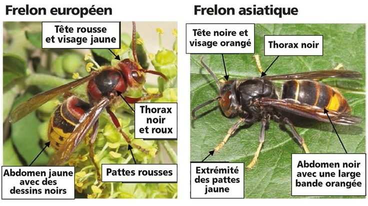 Six nids du frelon asiatique, qui colonise la France depuis 2005, ont été repérés en Isère. Pour éviter une propagation trop rapide le Groupement de défense sanitaire du département tire le signal d'alarme.